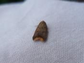Tachystola acroxantha