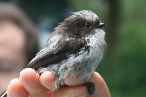 Juvenile long-tailed tit with dark face mask